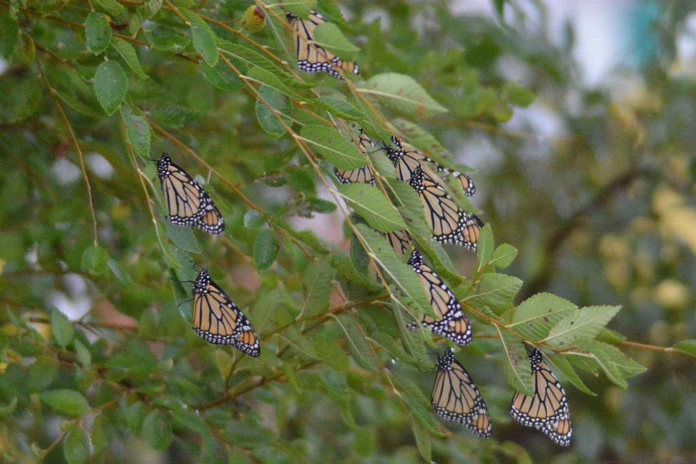 Monarch butterflies taking a rest on the DOE-NNSA Pantex Plant during their 2015 fall migration